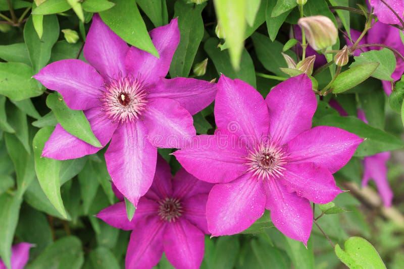 Fleurs roses des clématites sur le fond du feuillage vert photographie stock libre de droits