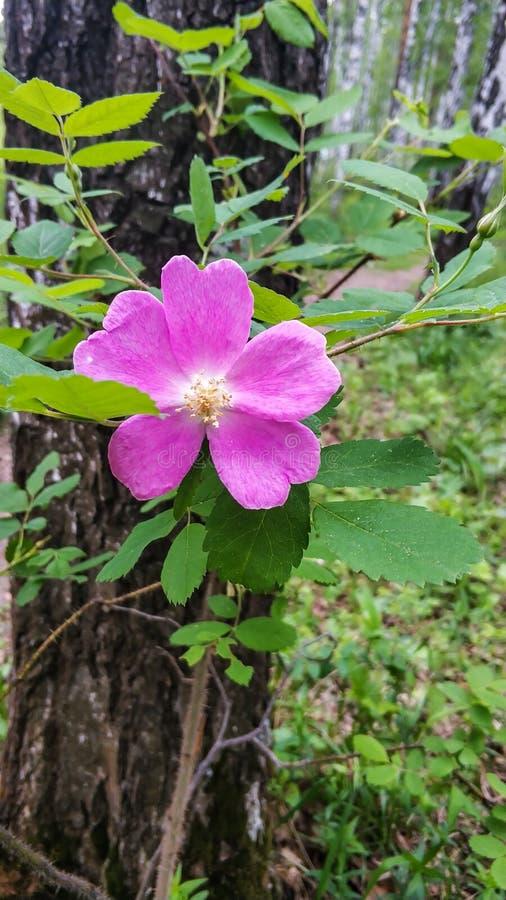 Fleurs roses des roses de chien ou de la hanche rose sur la fin verte de fond de feuilles  photos libres de droits
