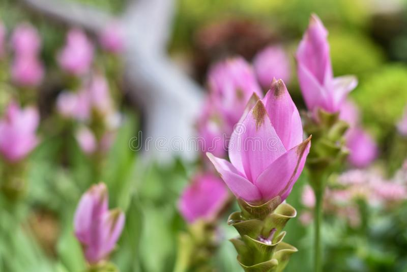 Fleurs roses en gros plan avec le fond brouillé photographie stock