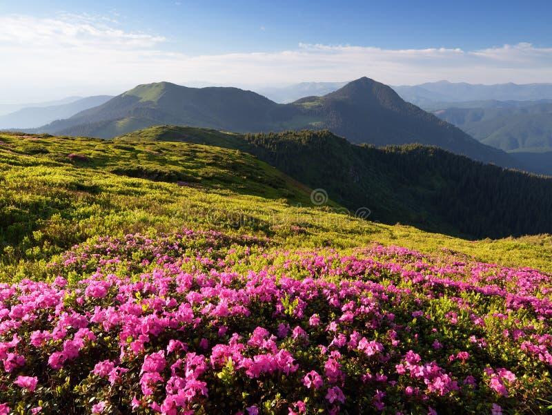 Fleurs roses en montagnes image stock