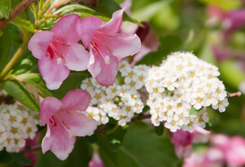 Fleurs roses et blanches image stock