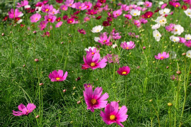 Fleurs roses et blanches de cosmos images stock
