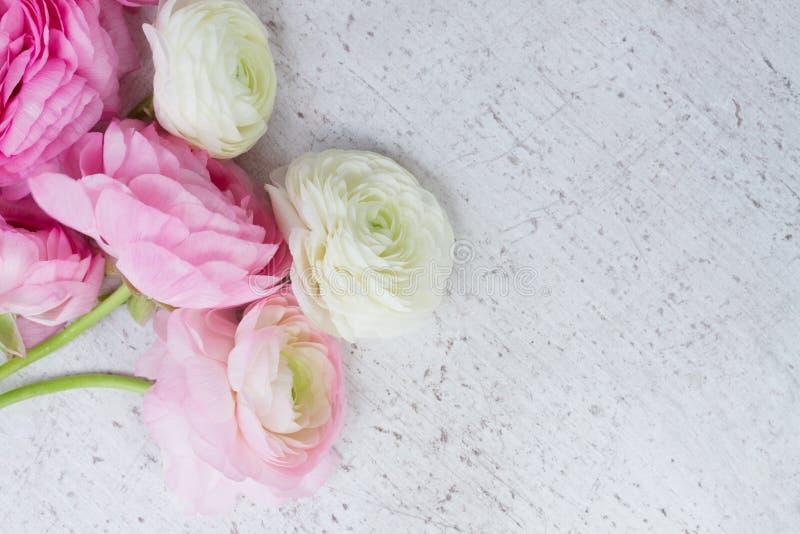 Fleurs roses et blanches de ranunculus photos libres de droits