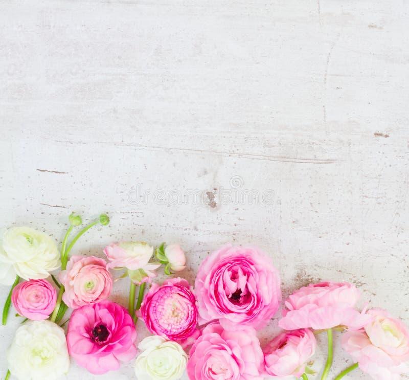 Fleurs roses et blanches de ranunculus image stock