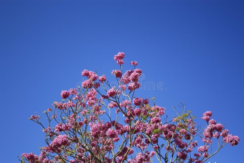 Fleurs roses et ciel bleu photo libre de droits