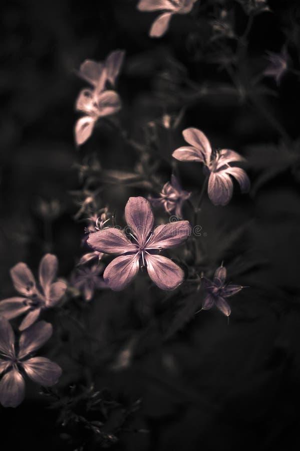 Fleurs roses et fond foncé image libre de droits