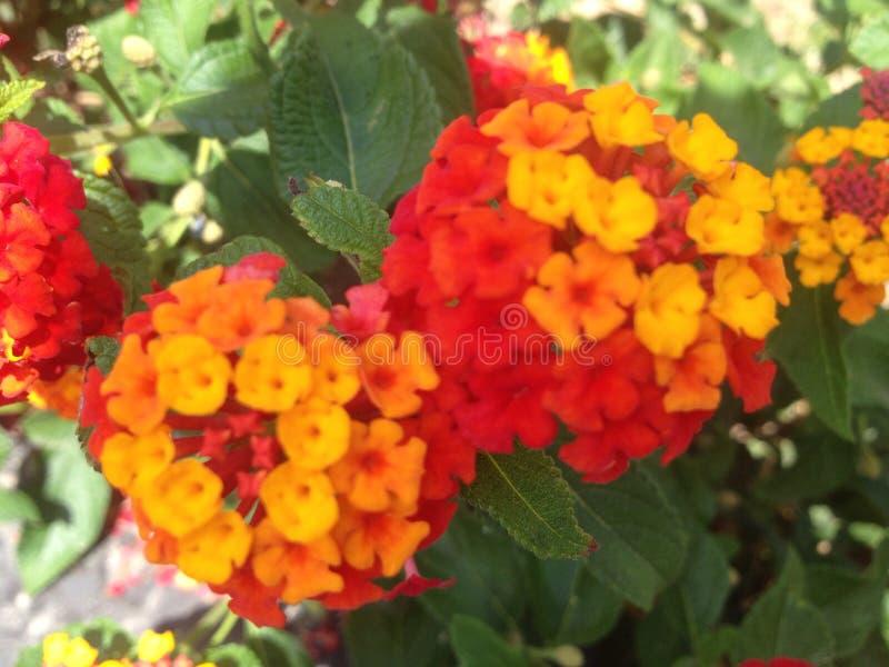 Fleurs roses et jaunes image stock