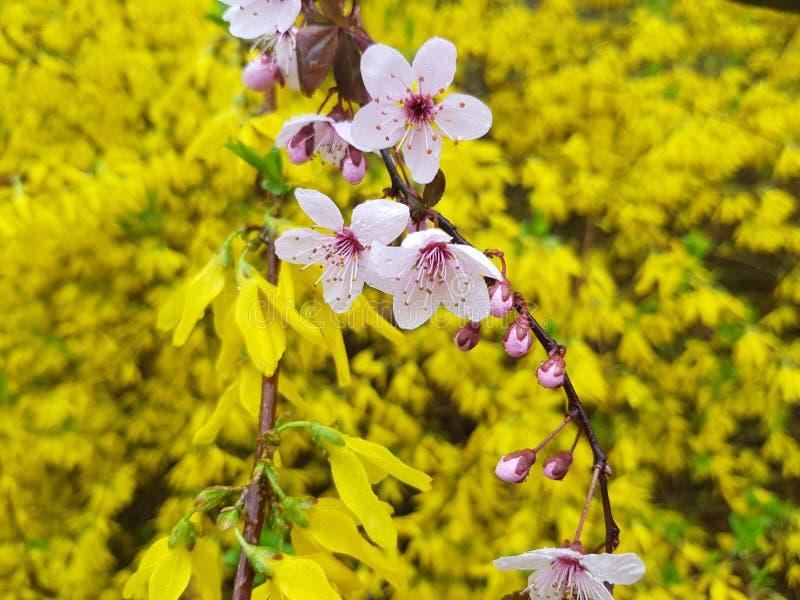 Fleurs roses et jaunes sur le fond jaune photos stock