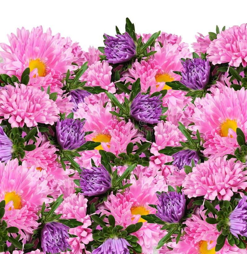 Fleurs roses et pourpres d'aster photo libre de droits