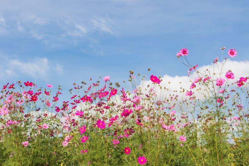 Fleurs roses et rouges de cosmos photos stock