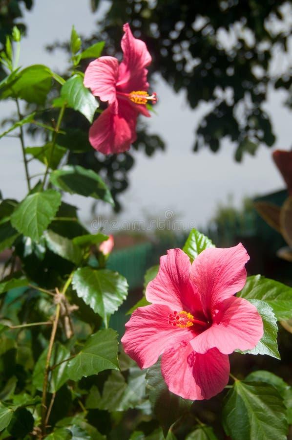Fleurs roses et rouges de ketmie images libres de droits
