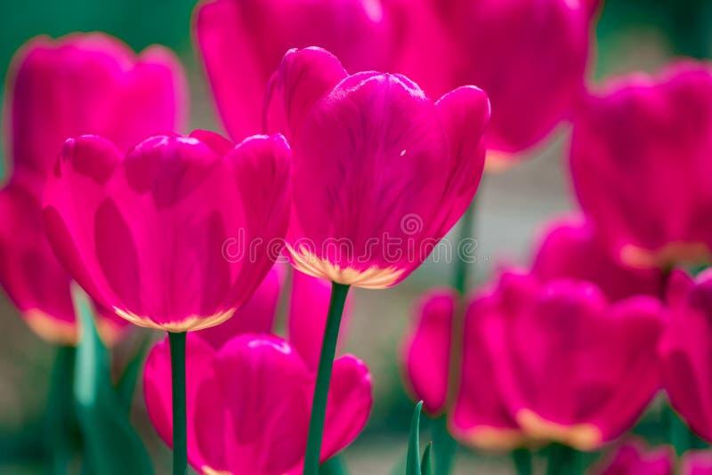 Fleurs roses et violettes de tulipe photo stock
