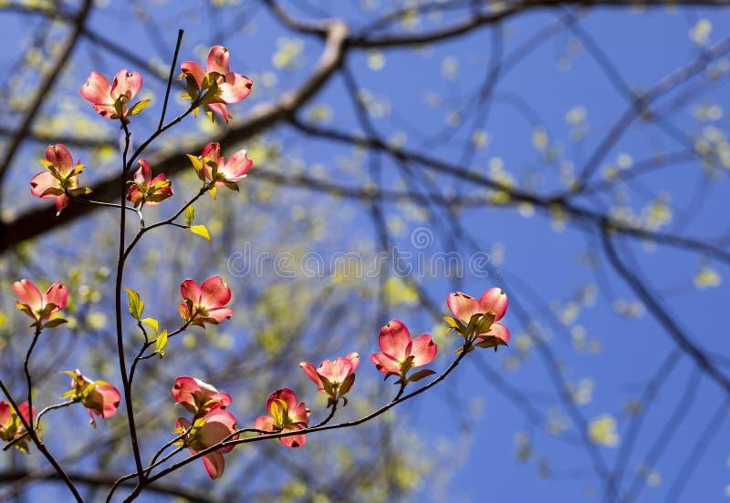 Fleurs roses I de cornouiller photo stock