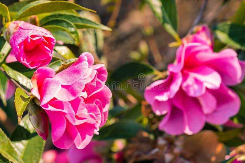 Fleurs roses lumineuses de camélia avec des gouttes de pluie photos libres de droits