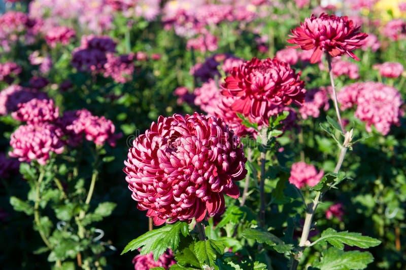 Fleurs roses lumineuses de chrysanthème photos stock