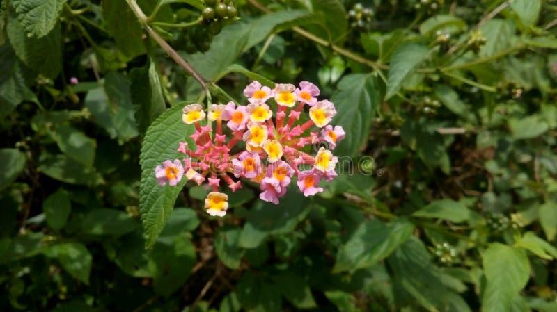 Fleurs roses minuscules dans la forêt photographie stock