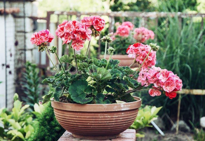 Fleurs roses mises en pot de pélargonium dans le jardin photo stock