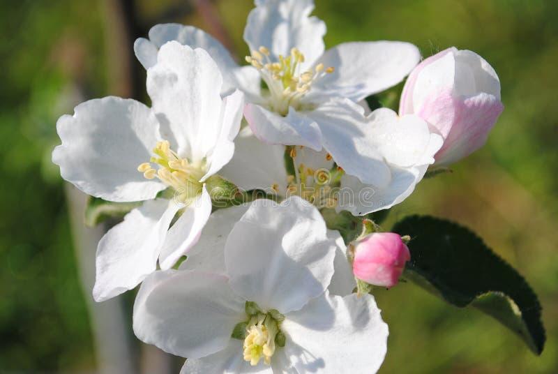 Fleurs roses molles de ressort des pommiers un jour ensoleillé photo libre de droits