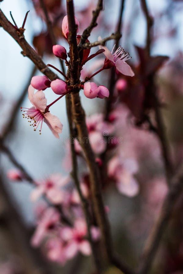 Fleurs roses parmi les branches foncées image stock