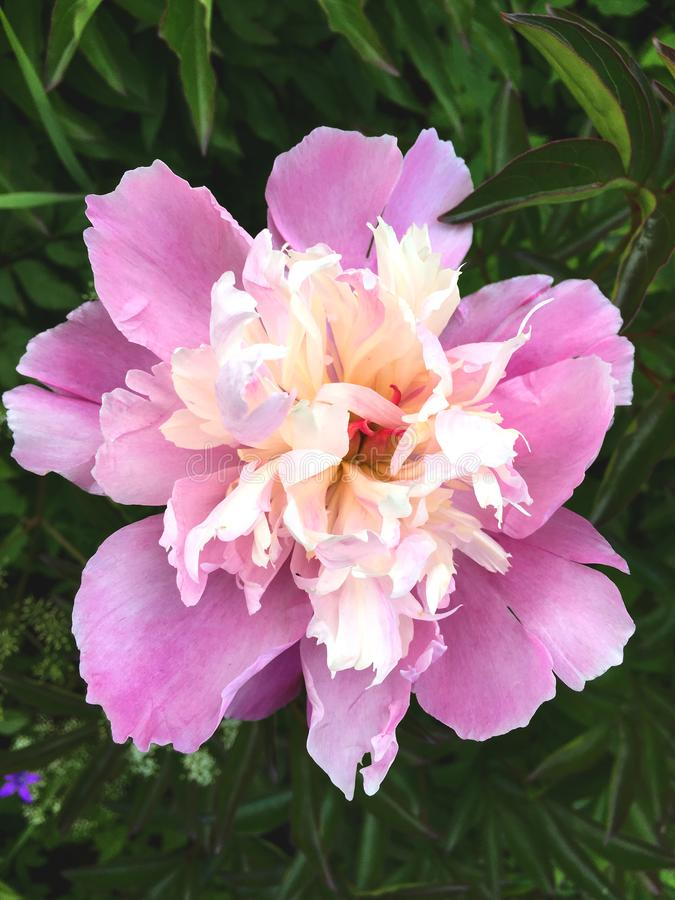 Fleurs roses pelucheuses de pivoines à un fond naturel vert-foncé photographie stock