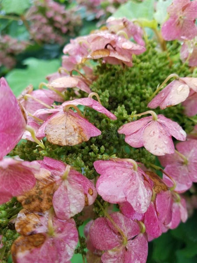 Fleurs roses pluvieuses de fleur photos stock