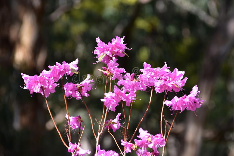 Fleurs roses - rhododendron photos libres de droits
