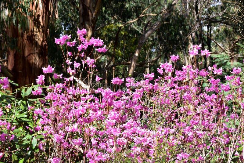 Fleurs roses - rhododendron photographie stock libre de droits
