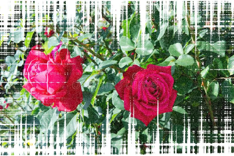 Fleurs roses rouges sur la tige - fleurs de jardin fleurissant pendant l'été, encadrement texturisé illustration de vecteur