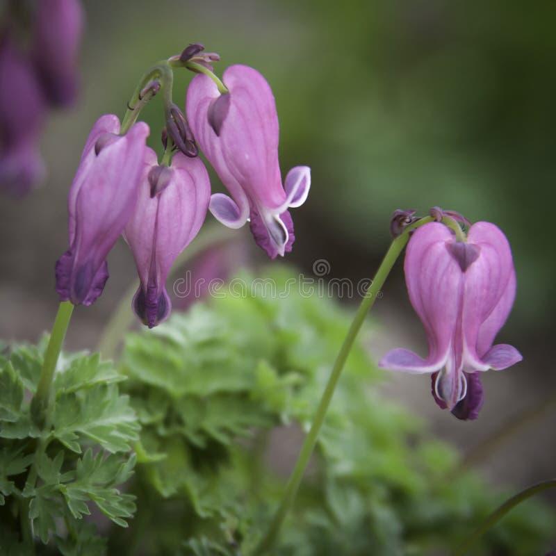 Fleurs roses savoureuses de Columbine images stock