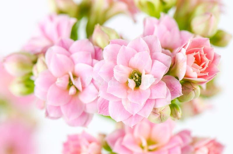 Fleurs roses sur le fond blanc, blossfeldiana de Kalanchoe photographie stock libre de droits