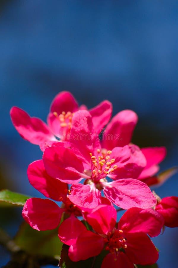Fleurs roses sur le fond bleu images stock