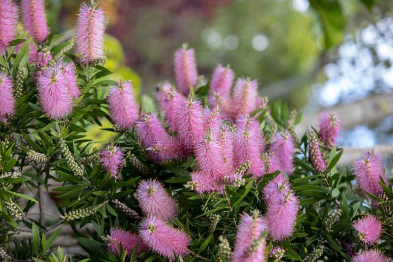 Fleurs roses usine du nervosum A d'Echium de la bonne pour attirer des abeilles et des papillons dans le jardin photos libres de droits