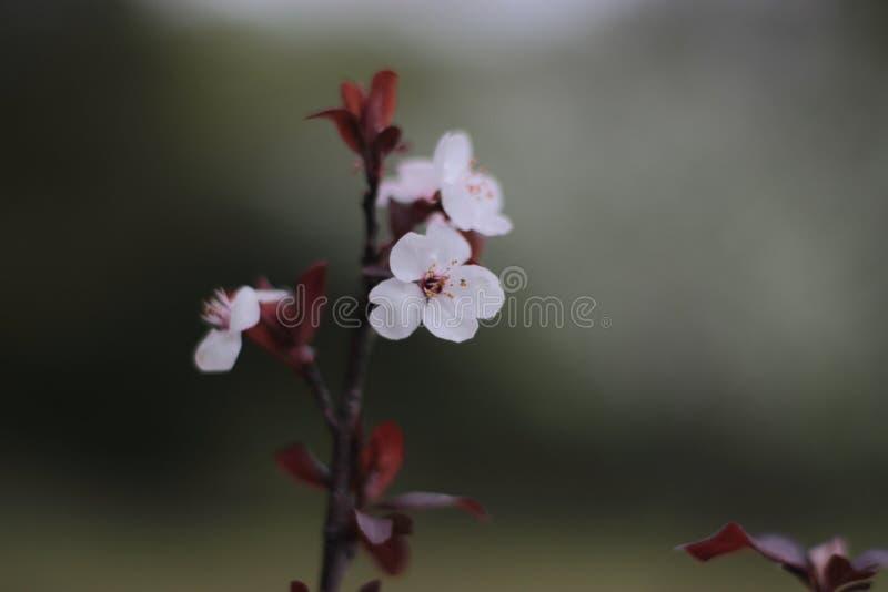 Fleurs rougeâtres et blanches et feuilles, macro photos stock