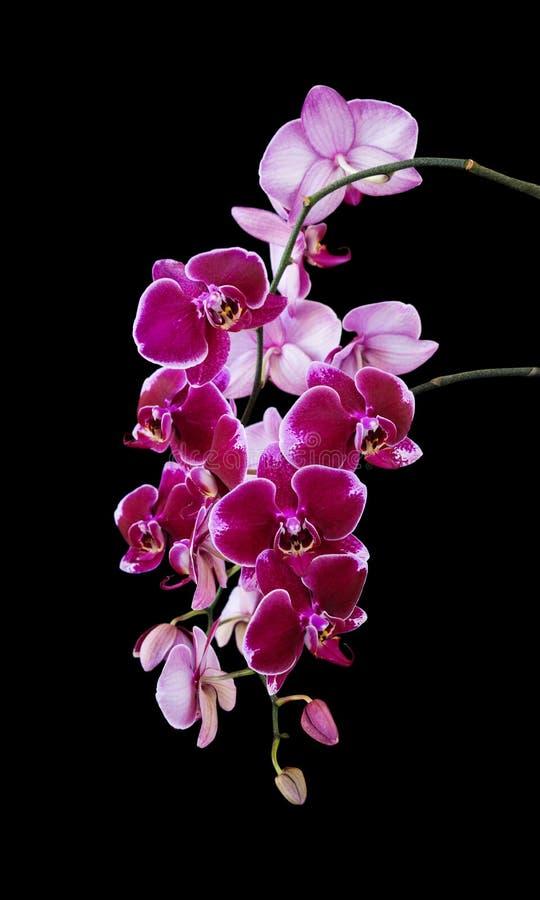 Fleurs rouge foncé d'orchidée sur le noir image libre de droits