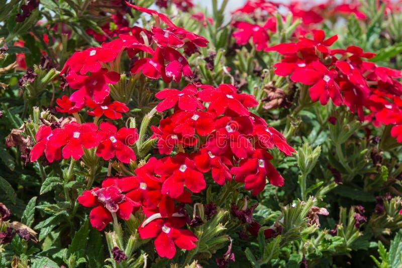 Fleurs Rouges étonnantes De Verveine Dans Le Jardin Image stock ...