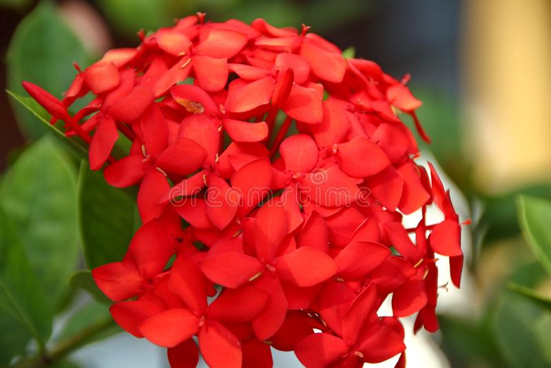 Fleurs rouges d'hortensia de Tunning dans le jardin photographie stock
