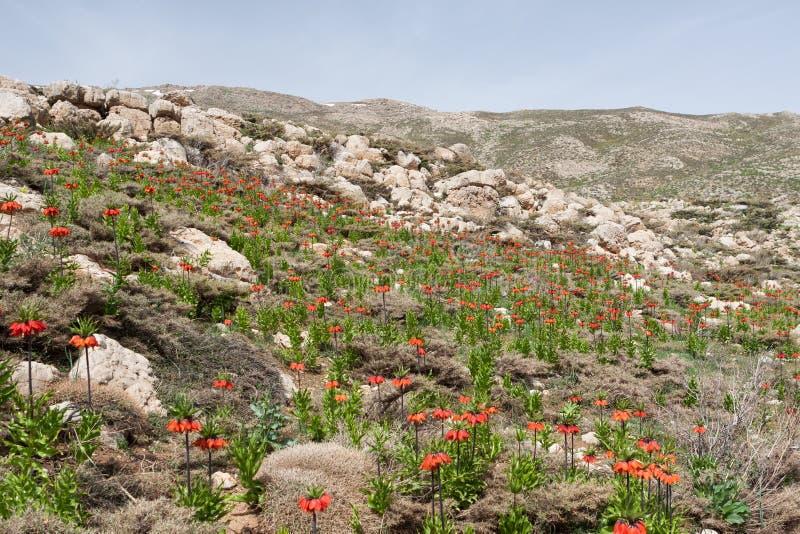 Fleurs rouges d'imperialis de fritillaria images stock