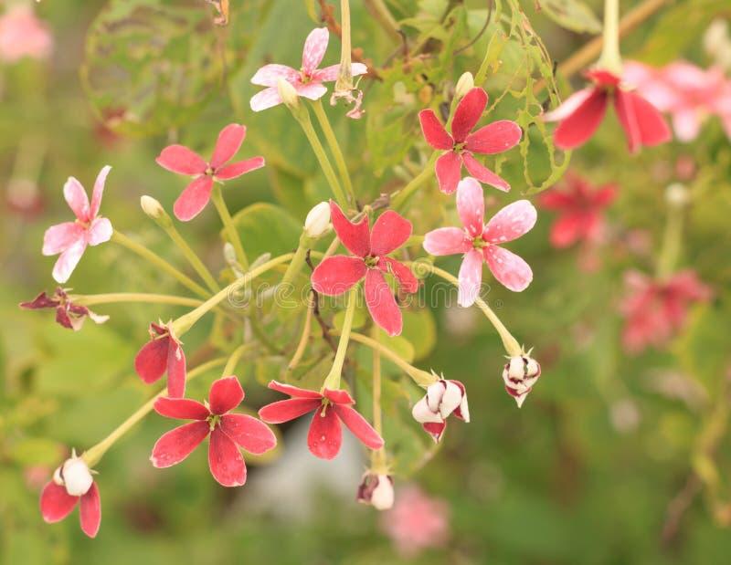 Download Fleurs Rouges D'usine De Jade Photo stock - Image du ressort, beau: 76088122