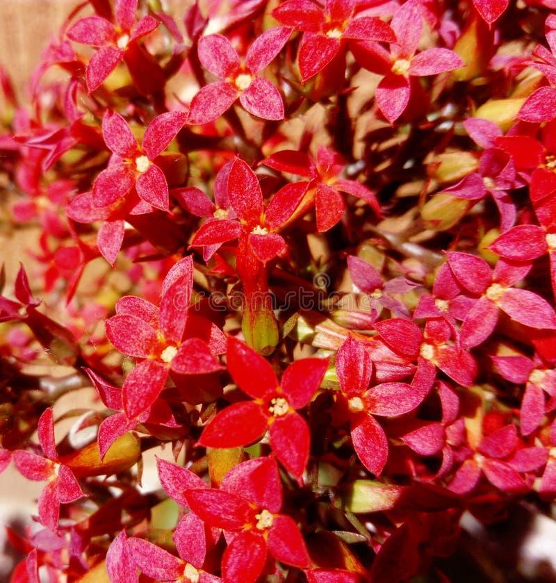 Fleurs rouges de blossfeldiana de Kalanchoe images stock