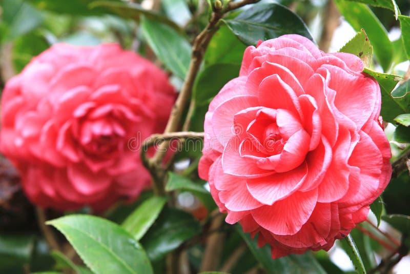 Fleurs rouges de camélia avec la goutte de pluie images libres de droits