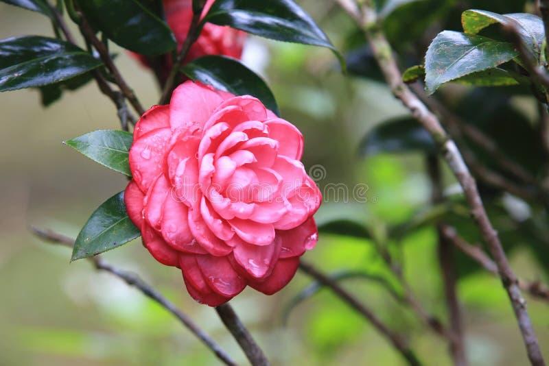 Fleurs rouges de camélia avec la goutte de pluie photos libres de droits