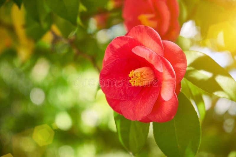 Fleurs rouges de camélia dans le feuillage vert photo stock