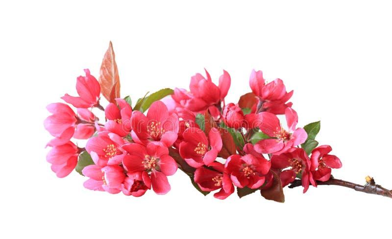 Fleurs rouges de cerise photographie stock libre de droits