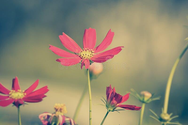 Fleurs rouges de cosmos - ton de vintage image stock