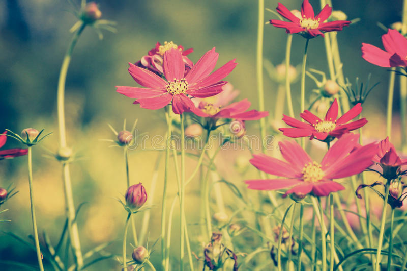 Fleurs rouges de cosmos - ton de vintage photos stock
