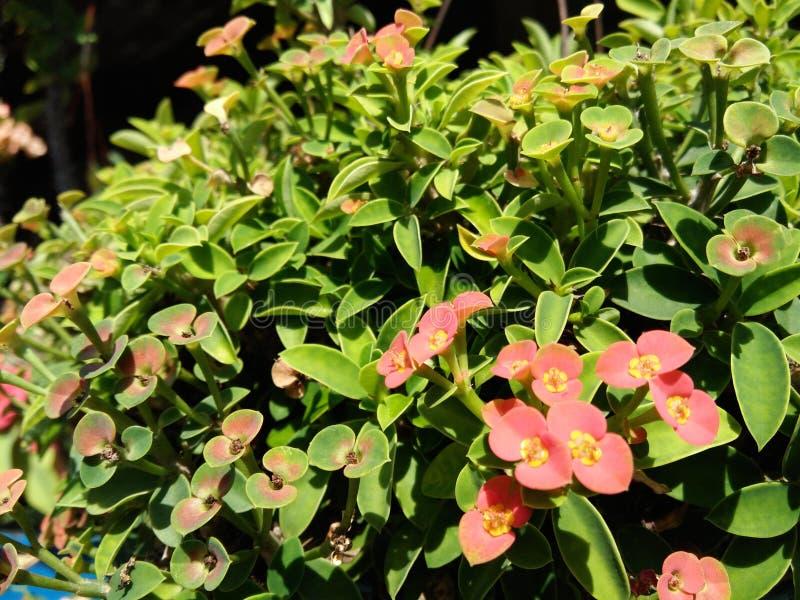 Fleurs rouges de fleur, feuilles vertes de l'usine naine d'épine du Christ photos libres de droits
