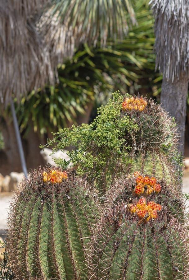 Fleurs rouges de floraison de cactus avec les feuilles ?pineuses photo stock