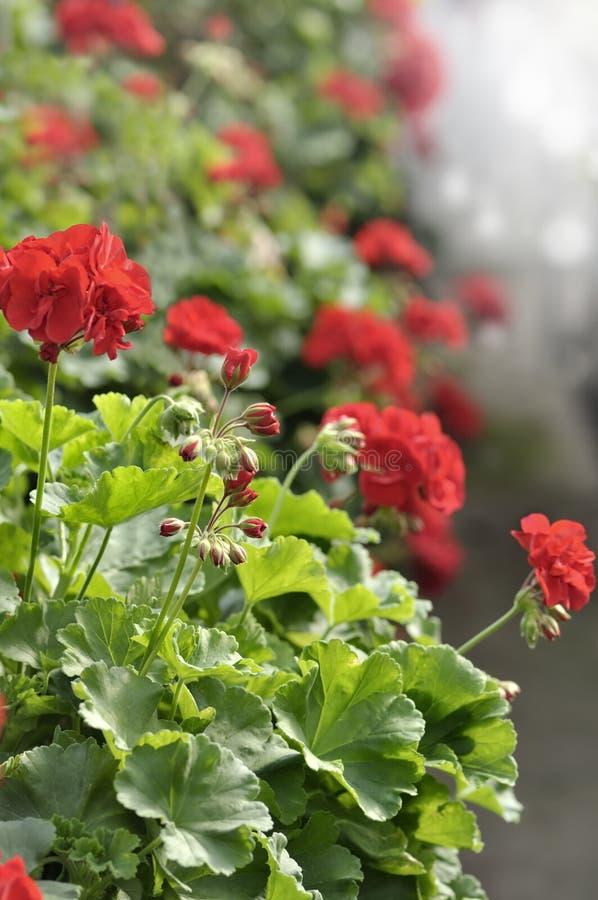 Fleurs rouges de géranium de jardin images libres de droits