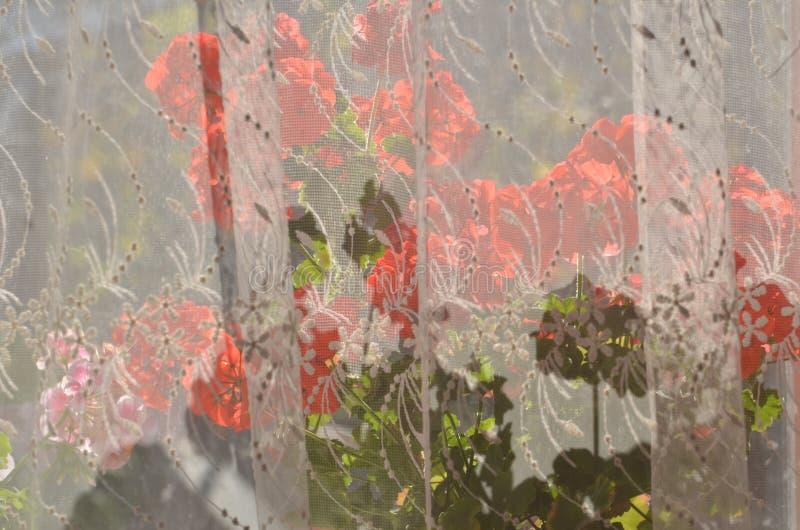 Fleurs rouges de géranium sur la fenêtre photos stock