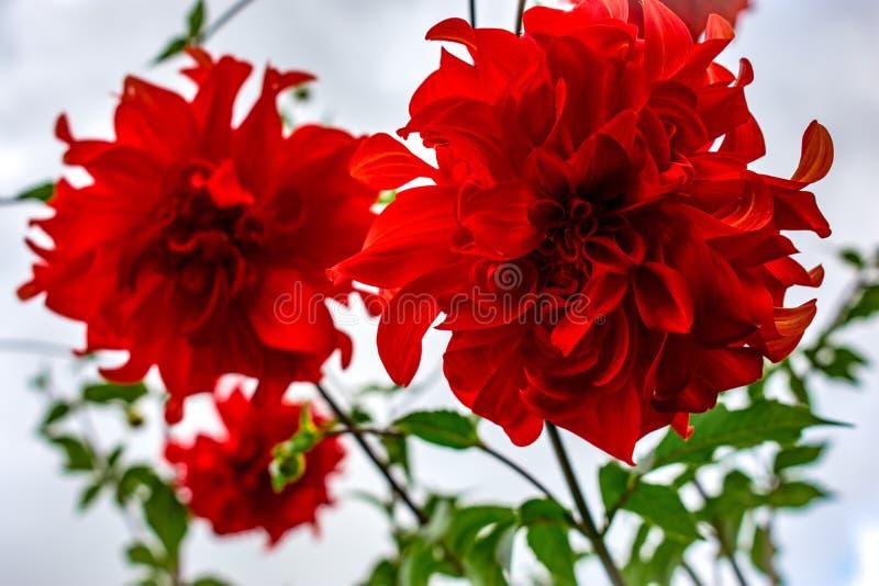 Fleurs rouges de jardin sur le fond blanc photographie stock